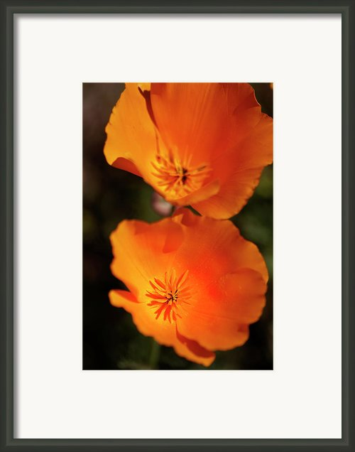Golden Poppyies Framed Print By Gilbert Artiaga