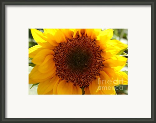 Golden Ratio Sunflower Framed Print By Kerri Mortenson