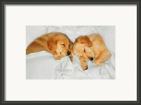 Golden Retriever Dog Puppies Sleeping Framed Print By Jennie Marie Schell
