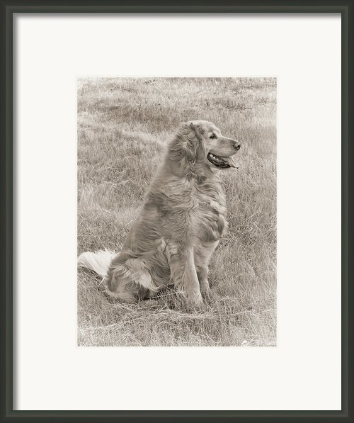 Golden Retriever Dog Sepia Framed Print By Jennie Marie Schell
