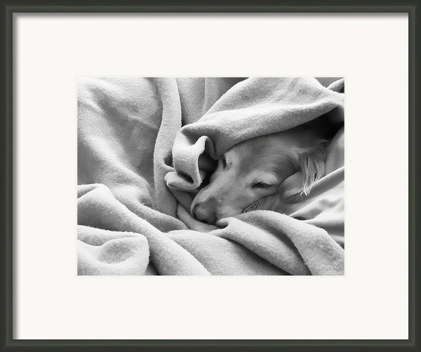 Golden Retriever Dog Under The Blanket Framed Print By Jennie Marie Schell