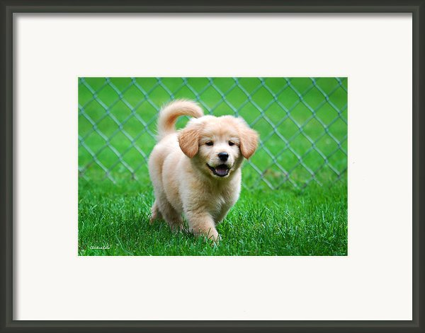 Golden Retriever Puppy Framed Print By Christina Rollo