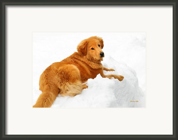 Golden Retriever Snowball Framed Print By Christina Rollo