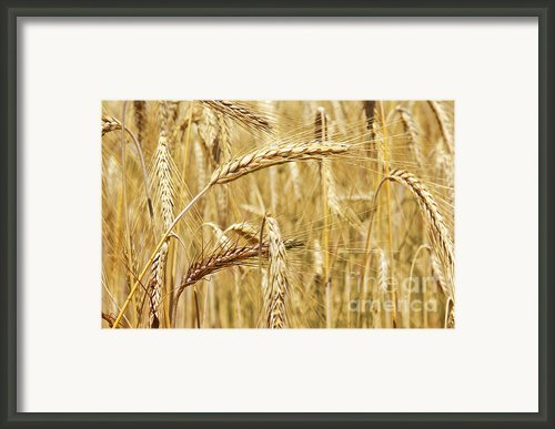 Golden Wheat  Framed Print By Carlos Caetano