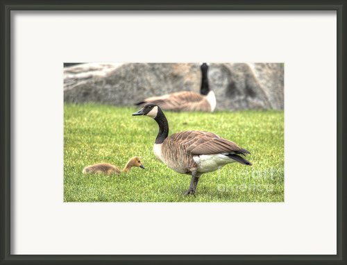 Goose And Gosling Afternoon Graze Framed Print By Deborah Smolinske