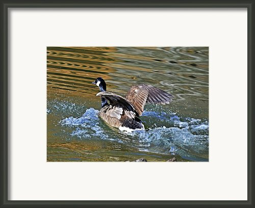 Goose In Water Framed Print By Susan Leggett