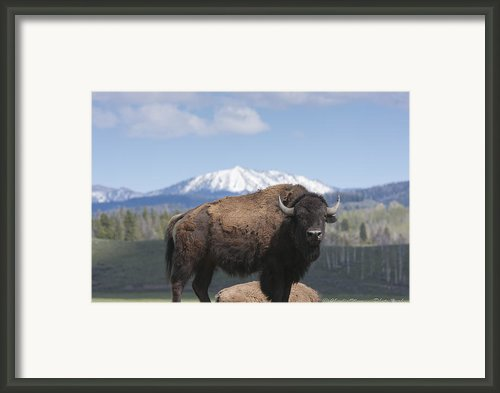 Grand Tetons Bison Framed Print By Charles Warren