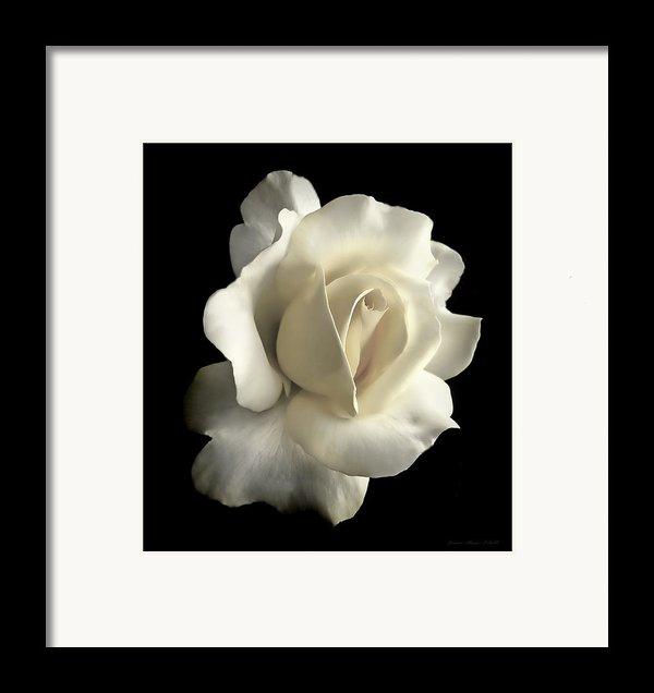Grandeur Ivory Rose Flower Framed Print By Jennie Marie Schell