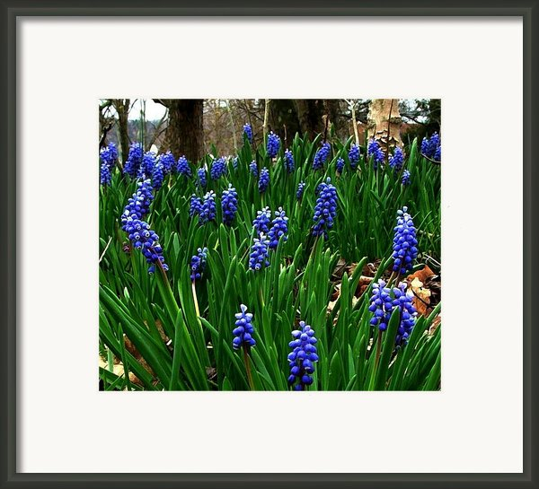 Grape Hyacinths Framed Print By Julie Dant