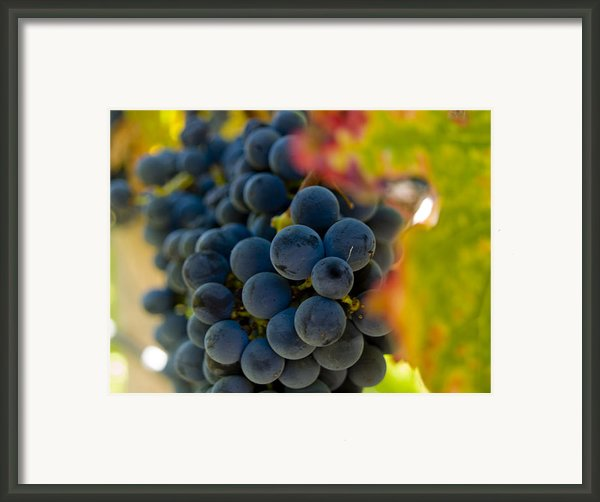 Grapes On The Vine Framed Print By Bill Gallagher