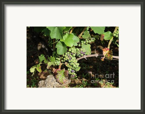 Grapevine. Burgundy. France. Europe Framed Print By Bernard Jaubert