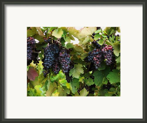 Grapevines #2 Framed Print By Mia Capretta