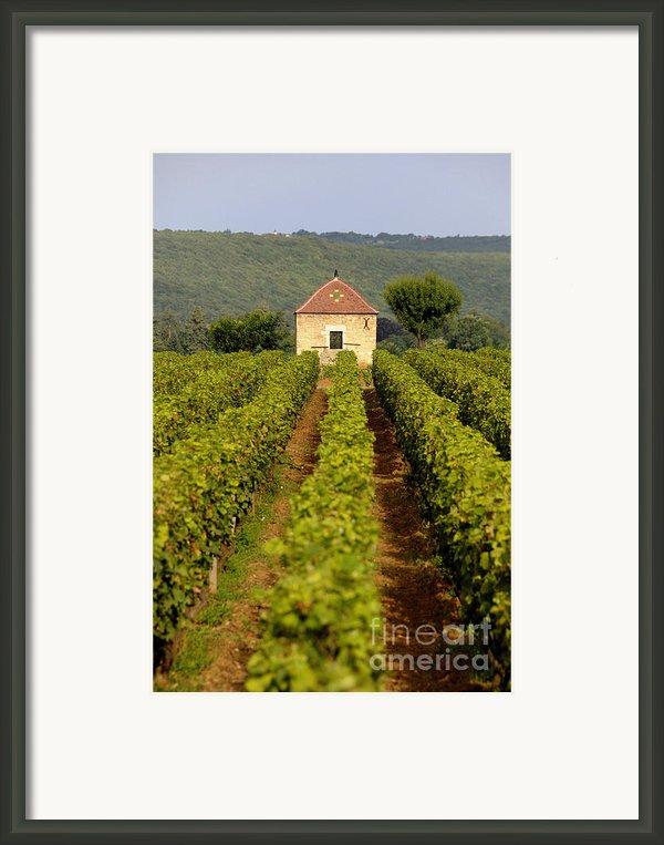 Grapevines. Premier Cru Vineyard Between Pernand Vergelesses And Savigny Les Beaune. Burgundy. Franc Framed Print By Bernard Jaubert