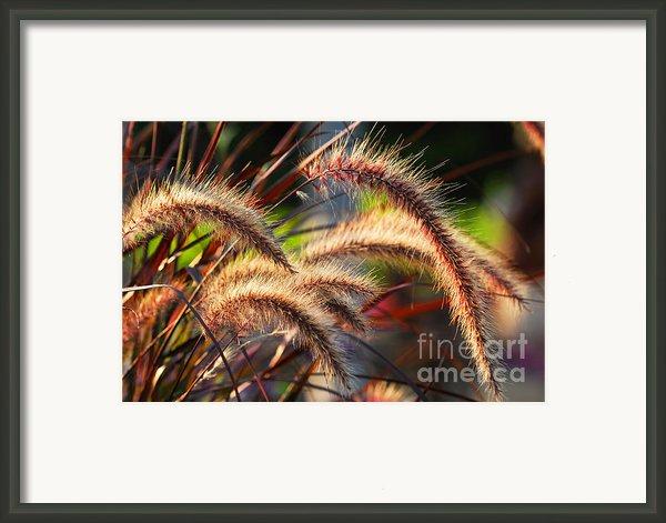 Grass Ears Framed Print By Elena Elisseeva
