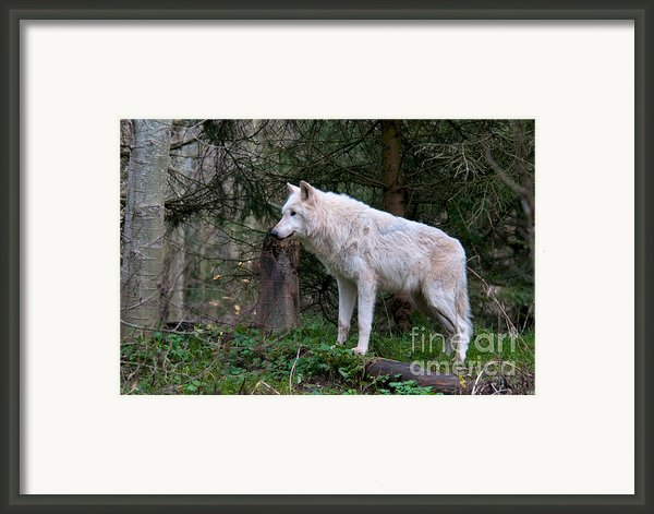 Gray Wolf White Morph Framed Print By Mark Newman
