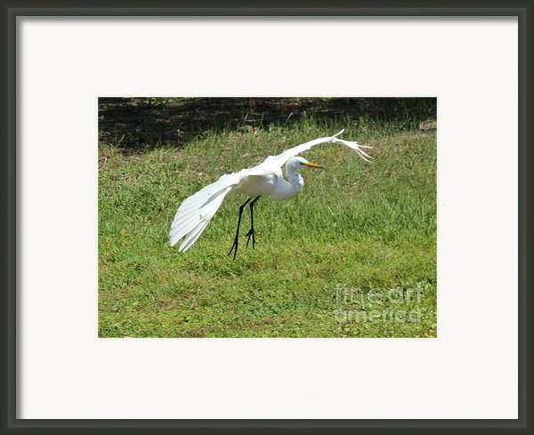 Great Egret Landing Framed Print By Theresa Willingham