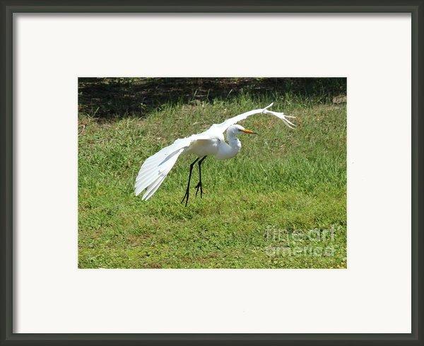 Great Egret Landing Framed Print By Theresa Willingham