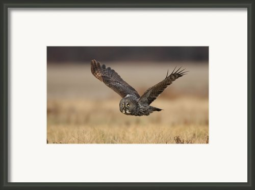 Great Gray Framed Print By Daniel Behm