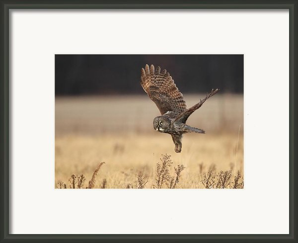 Great Gray Owl Liftoff Framed Print By Daniel Behm