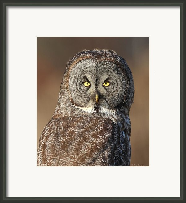 Great Gray Owl Portrait Framed Print By Daniel Behm