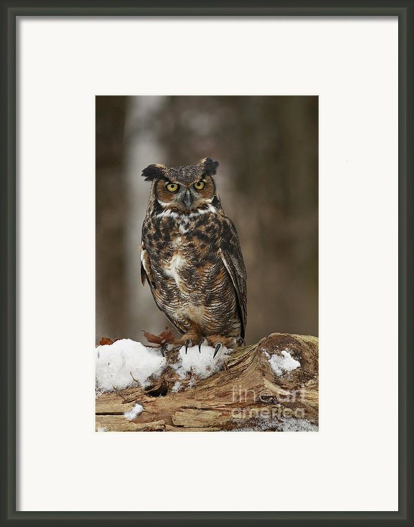 Great Horned Owl Watching You Framed Print By Inspired Nature Photography By Shelley Myke