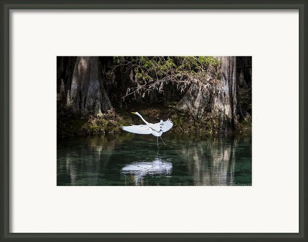 Great White Heron In Flight Framed Print By Charles Warren