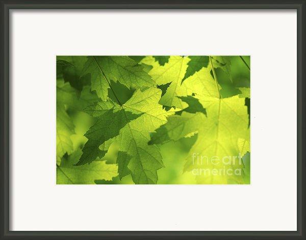 Green Maple Leaves Framed Print By Elena Elisseeva