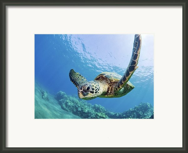 Green Sea Turtle - Maui Framed Print By M Swiet Productions