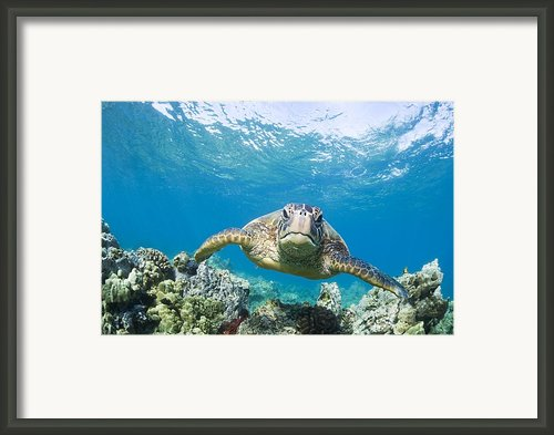 Green Sea Turtle Over Reef Framed Print By M Swiet Productions