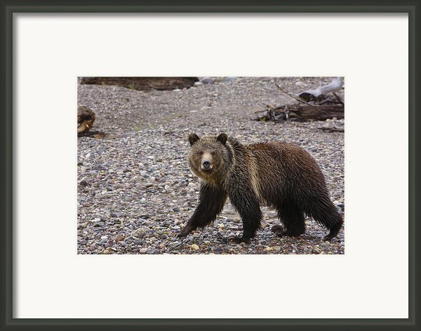 Grizzly Bear Framed Print By Charles Warren
