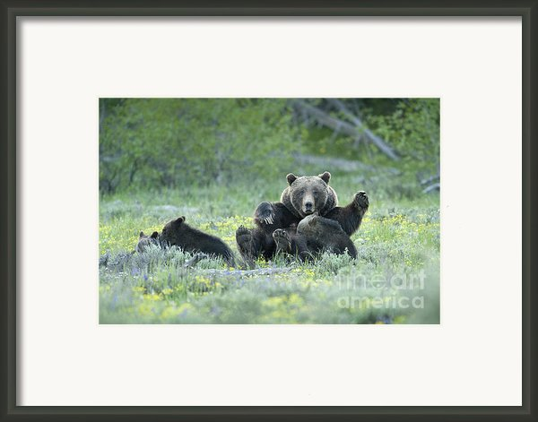 Grizzly Romp - Grand Teton Framed Print By Sandra Bronstein
