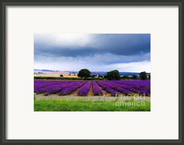 Hampshire Lavender Field Framed Print By Terri  Waters