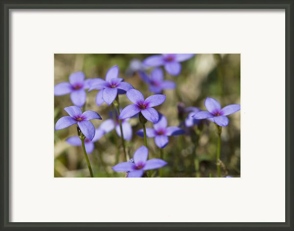 Happy Tiny Bluet Wildflowers Framed Print By Kathy Clark