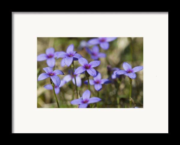 Happy Tiny Bluet Wildflowers Framed Print By Kathy Clark