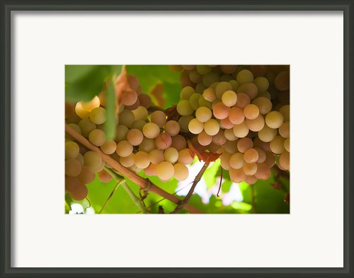 Harvest Time. Sunny Grapes Ii Framed Print By Jenny Rainbow