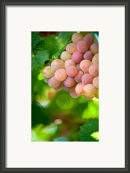 Harvest Time. Sunny Grapes Viii Framed Print By Jenny Rainbow
