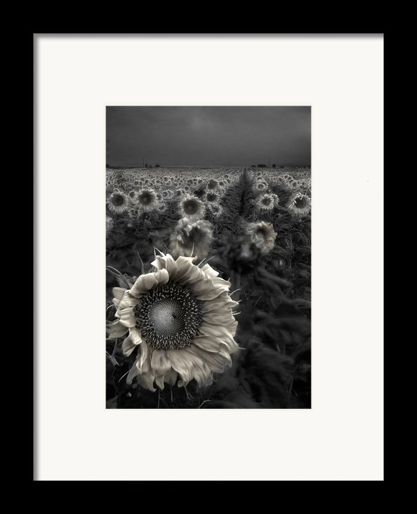 Haunting Sunflower Fields 1 Framed Print By Dave Dilli