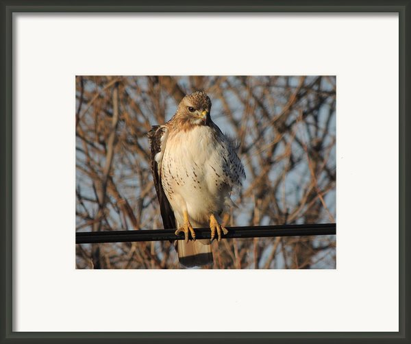 Hawk #21 Framed Print By Todd Sherlock