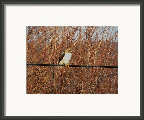 Hawk #22 Framed Print By Todd Sherlock