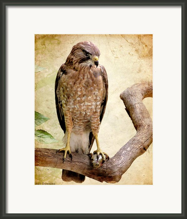Hawk With Fish Framed Print By Ray Downing