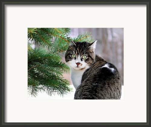 Hazel Eyes And Pine Framed Print By Christina Rollo