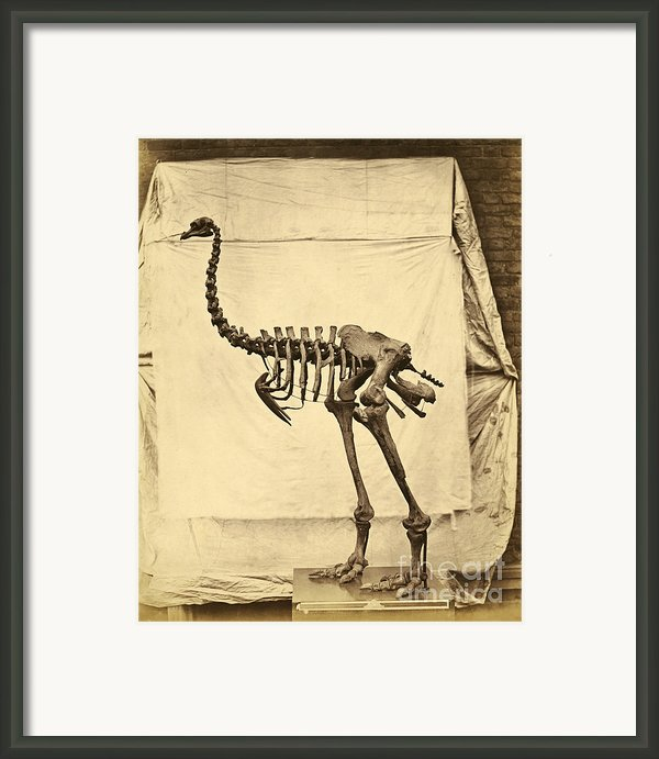 Heavy Footed Moa Skeleton Framed Print By Getty Research Institute