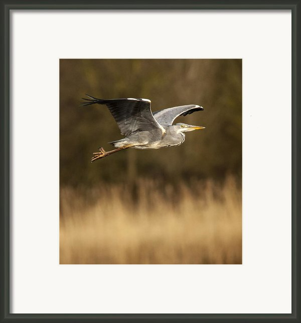 Heron In Flight Framed Print By Simon West