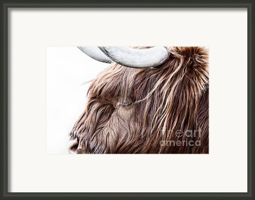 Highland Cow Color Framed Print By John Farnan