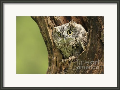 Hollow Screech- Eastern Screech Owl Framed Print By Inspired Nature Photography By Shelley Myke