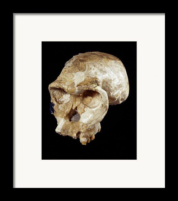 Homo Habilis Cranium (oh 24) Framed Print By Science Photo Library