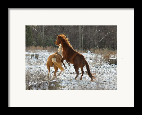 Horses At Play - 10dec5690b Framed Print By Paul Lyndon Phillips