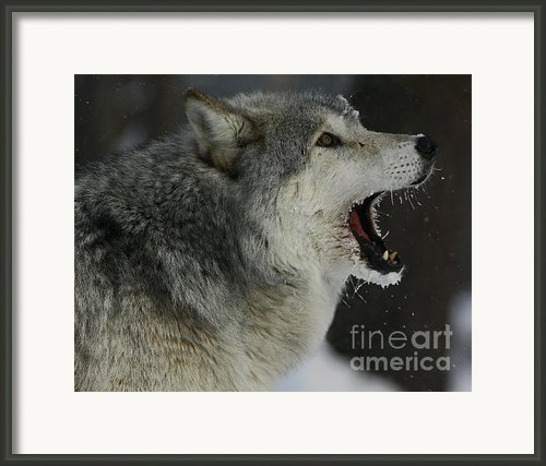 Howling Gray Wolf  Framed Print By Inspired Nature Photography By Shelley Myke