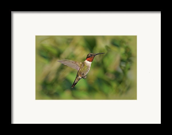 Hummingbird In Flight Framed Print By Sandy Keeton