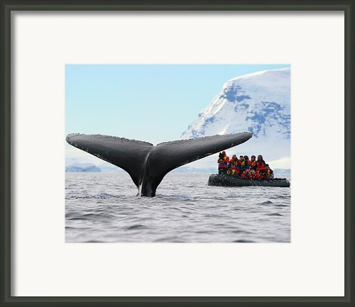 Humpback Whale Fluke  Framed Print By Tony Beck
